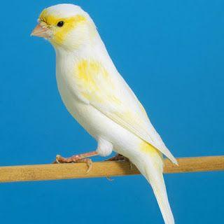 صور عصافير كناري روعة Canary Bird Pictures Canary Birds Breeds Bird Pictures