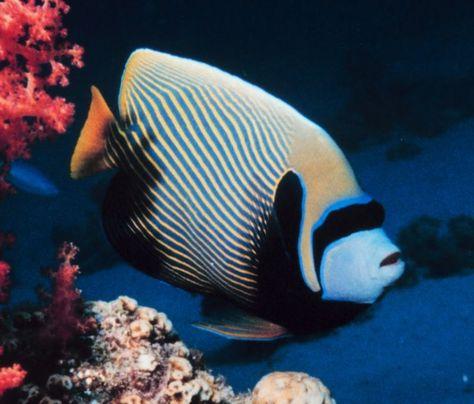 Arrecife de coral.  Pomacanthus imperator en Aqaba, Jordania