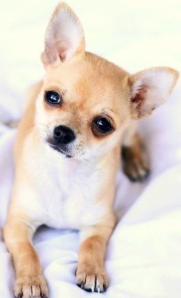 Cute Chihuahua Via Www Facebook Com Cutechihuahuafans With
