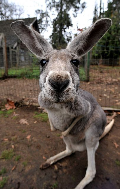 """Kangaroo"" at the Outback Kangaroo Farm, Arlington, Washington. Kangaroo farms benefit from preserving the lives of kangaroos. Cute Creatures, Beautiful Creatures, Animals Beautiful, Cute Baby Animals, Animals And Pets, Funny Animals, Strange Animals, Tier Fotos, My Animal"