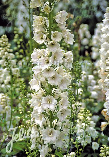Jelitto Perennial Seed Delphinium Elatum Hybr Guardian F1