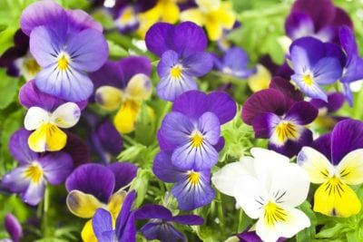 Pansies Not Flowering What To Do When Your Pansies Won T Bloom Pansies Flowers Pictures Of Spring Flowers Easiest Flowers To Grow