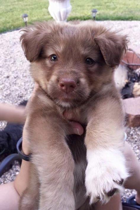 Australian Shepherd Lab Puppy In 2020 Lab Mix Puppies Australian Shepherd Lab Mix Australian Shepherd