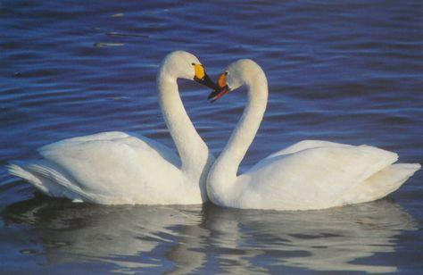 Wellesley swans???