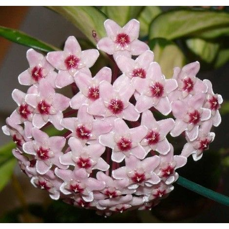 Fiori Hoya.Hoya Carnosa Tricolor Fiore Di Cera Vaso 11 Cm Perenni Fiori Di