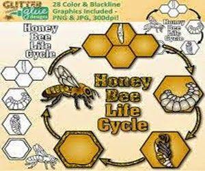 33 honey bee life cycle diagram for kids honeybee pinterest honey bee life cycle diagram for kids honeybee pinterest cycling bees and honey ccuart Images