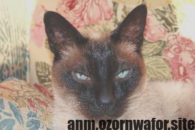 New Absolutely Free Siamese Cats Behavior Tips