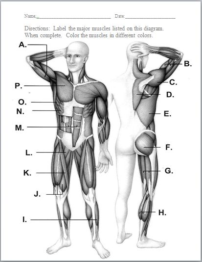 Muscles Of The Body Worksheet - Synhoff