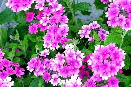 Werbena Zwisajaca I Rabatowa Latwy W Uprawie Kwiat Na Balkon I Taras Little Garden Urban Garden Plants