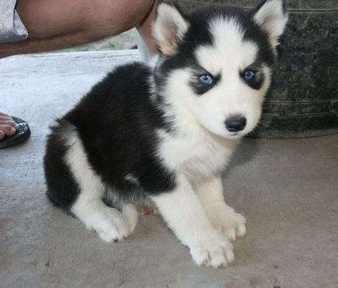 Miniature Siberian Husky Mini And Cute Siberian Husky Puppies
