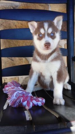 Husky Puppies For Sale Lancaster Puppies Siberian Husky Puppies
