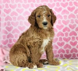 Goldendoodle Puppies For Sale Lancaster Puppies Children