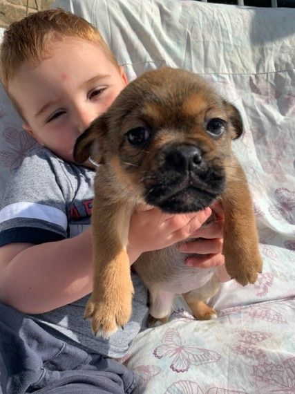 Jug X Jug Puppy For Sale Girl Jug Puppies For Sale Puppies For