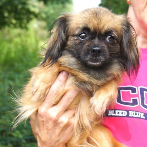 Emma Is A Pekingese Spaniel Mix She May Even Have Some Chihuahua In Her She S About 1 2 Years Old And Weighs About 10 Lbs Small Dog Breeds Dogs Small Dogs