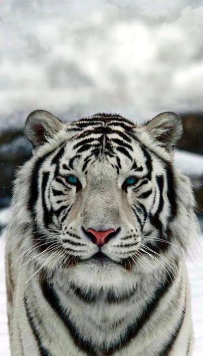 17 Inspiradores Fondos De Pantalla Para Llevar A La Naturaleza Contigo Contigo De Fondos Inspir In 2020 Wild Animal Wallpaper Tiger Spirit Animal Tiger Wallpaper