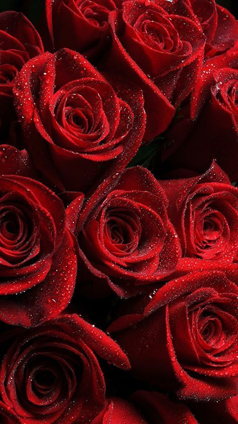 45 Beautiful Roses Wallpaper Backgrounds For Iphone Red Roses Wallpaper Pink Wallpaper Iphone Flower Phone Wallpaper
