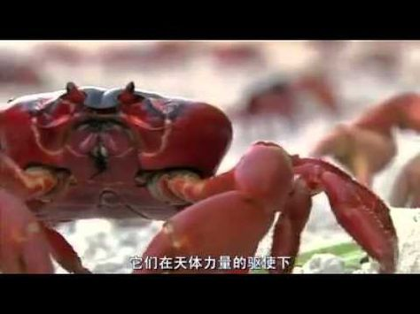 the amazing migration pattern of the christmas island red crab explained laughing squid pinterest christmas island