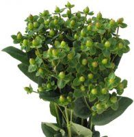Bulk Hypericum.  Starting at $127.95  Common Name: Hypericum, Coffee Bean, St. John's Wort, Rose of Sharon, Tutsan    Description: The small, waxy, egg-shaped fruits (berries) occur in terminal clusters at the end of slender 24-36 inch long and leafy stems. A lovely accent of texture and tone.