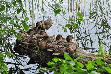 Cute mallard ducks take a rest on the floating wood log