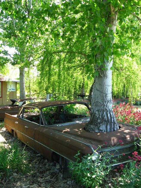 Cadillac / Tree, I wonder how long the car has been abandoned there, with the tree already grown quite large. Abandoned Cars, Abandoned Buildings, Abandoned Places, Abandoned Vehicles, Street Rods, Rust In Peace, Rusty Cars, Growing Tree, Barn Finds