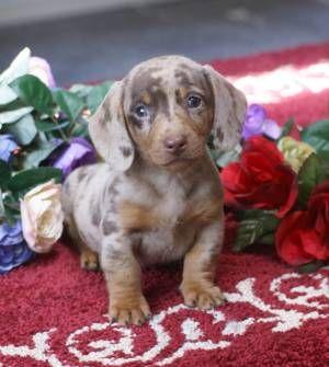 Mgm Dachshunds Past Sold Puppies Dachshund Breeder Dachshund