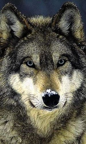 Black Wolf Hd Wallpapers For Android Black Wolf Hd Wallpapers For Android Wolf Wallpaper Black Wolf Hd Wallpaper