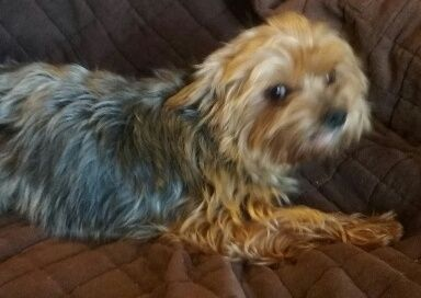 Adopt Victoria 11 2 Lbs On Yorkshire Terrier Yorkshire Terrier Dog Terrier Dogs