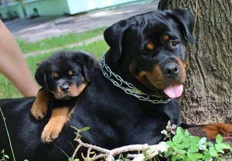 This Is My Boy Rottweiler Rottweiler Dog Rottweiler Lovers