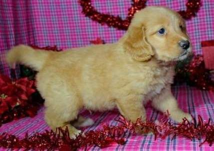 63 Trendy Dogs And Puppies For Sale Pennsylvania Dogs Puppies