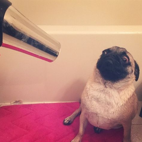 """pugsofinstagram: """"Blow out? No thanks."""" (pumba_the_pug)"""