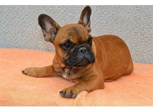 French Bulldog In Maryland French Bulldog Puppies French