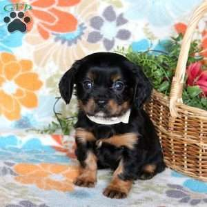 Cavapoo Puppies For Sale Cavapoo Dog Breed Info Greenfield Puppies Cavapoo Puppies Cavapoo Puppies For Sale Dog Breed Info