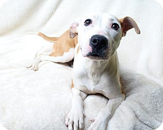 Wilmington, DE - Pit Bull Terrier Mix. Meet Pebbles, a dog for adoption. http://www.adoptapet.com/pet/13812899-wilmington-delaware-pit-bull-terrier-mix