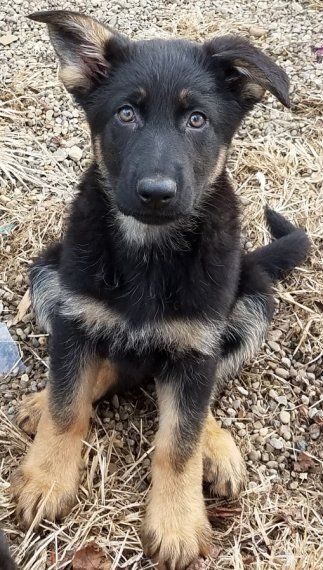 Tinkerbell Is A Female German Shepherd Puppy For Sale At Puppyspot