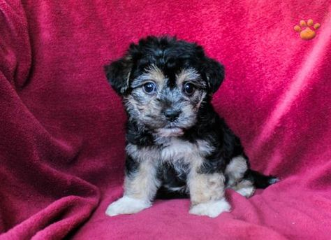Munchkin York Chon Puppy For Sale In Dornsife Pa Lancaster