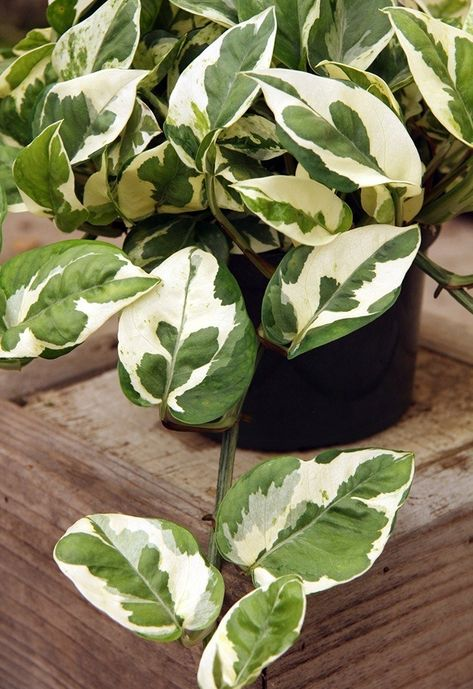 Pothos and Philodendron Plant Care Guide   Plants, House ...