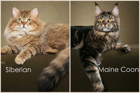 Difference Between Maine Coon And Siberian Cat Maine Coon Feline