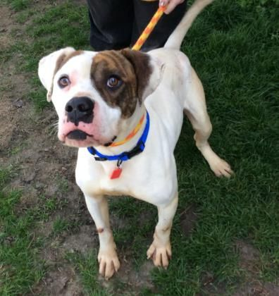 Meet Bobot 96 A 3 Years Bulldog American Mix Available For Adoption In Cleveland Oh Dog Adoption Pets American Bulldog Mix