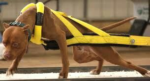 Apbt Weight Pull Note The Padded Specially Designed Harness That