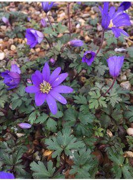 Anemone Blanda Plants Anemone Alpine Plants