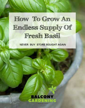 Grow Unlimited Basil At Home In 60 Days In 2020 Culinary Herbs