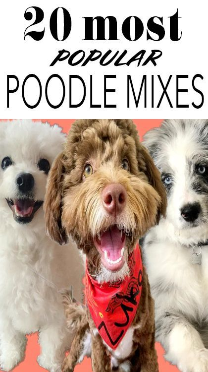 20 Popular Poodle Mixes For You To Love Poodle Mix Poodle Mix
