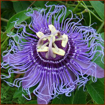 Zone 7 Passiflora Inspiration Erica Johnsen Maybe You Can Grow This Passion Flower Flowers Passiflora