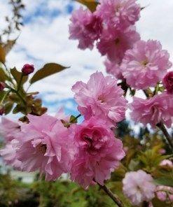 Prunus Serrulata Kwanzan Cherry Brandywine Trees Japanese Cherry Tree Flowering Cherry Tree Kwanzan Cherry