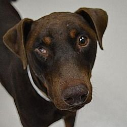 Pin By Suemillion On Rescues Dog Adoption Doberman Pinscher Pets
