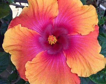 Etsy El Lugar Para Comprar Y Vender Todo Lo Que Esta Hecho A Mano Hibiscus Plant Hibiscus Flowers Flower Seeds