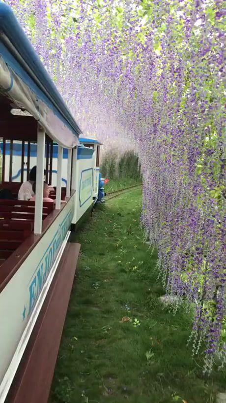 Riding through wisteria