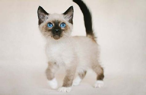 Ragdoll Cats Snowshoe Ragdoll Snowshoe Ragdoll Katzen Schneeschuh Ragdoll Cats Raquette Ragdoll Gatos Raquetas De Nieve Ragdoll Cats Blu In 2020