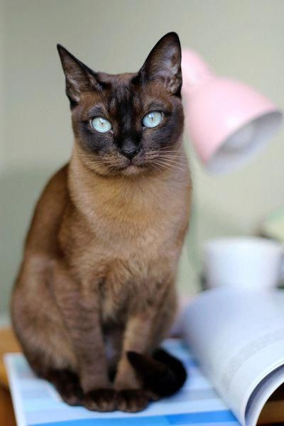 More Than Just Domestic Shorthair Cats Cat Breeds That Are Great For People Over 50 Photos Catsandkittens Cat Breeds Tonkinese Cat Best Cat Breeds