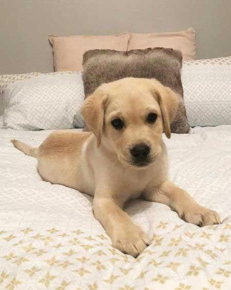Dogs And Puppies For Sale Perth Labrador Retriever Labrador Retriever Puppies Yellow Lab Puppy
